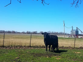 Pat Kirk Angus - Calf Cow Farm in Iowa 2