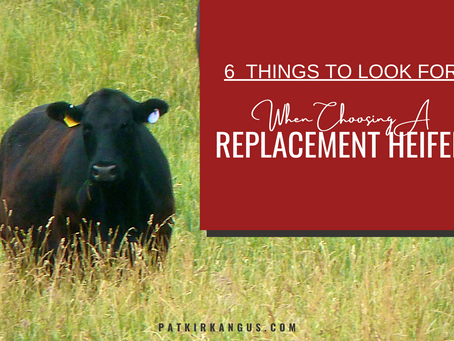 6 Things to Look for in Black Angus Replacement Heifers