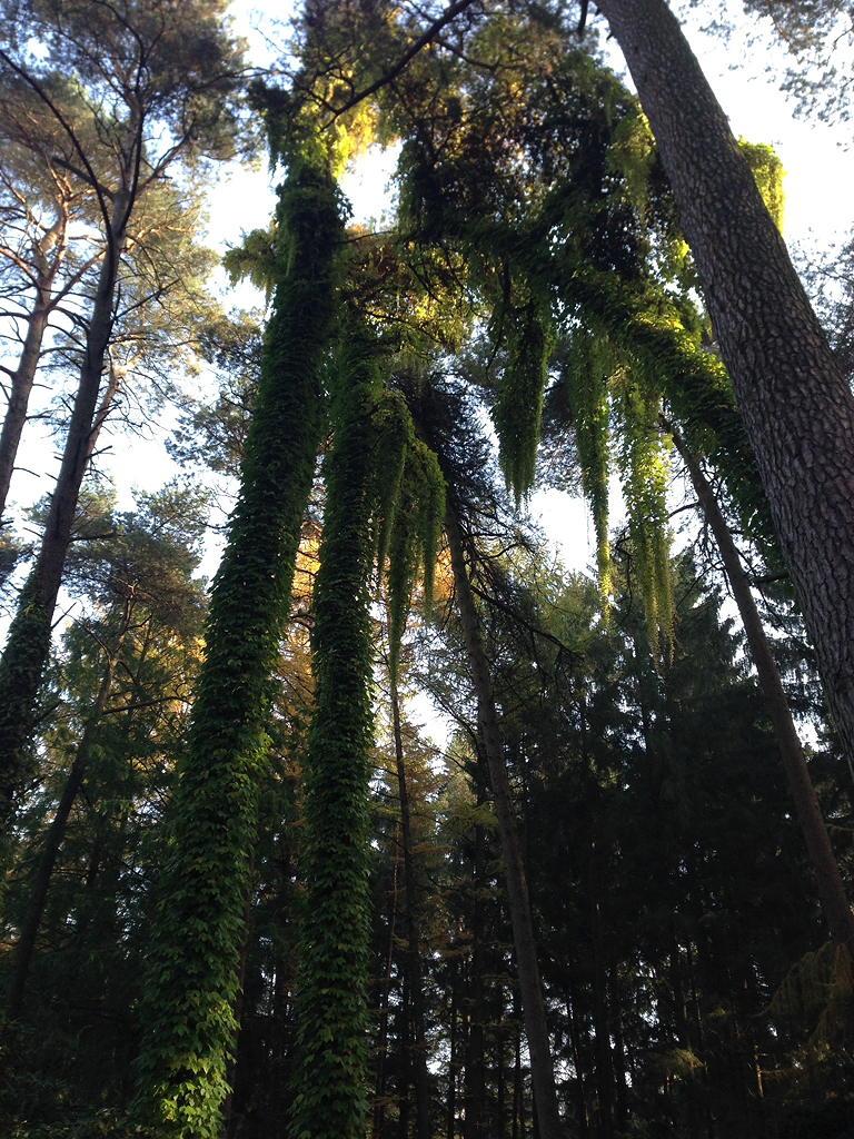 Bäume mit Kletterpflanzen