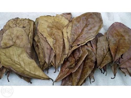 Folhas de Amendoeira XL 1 und.