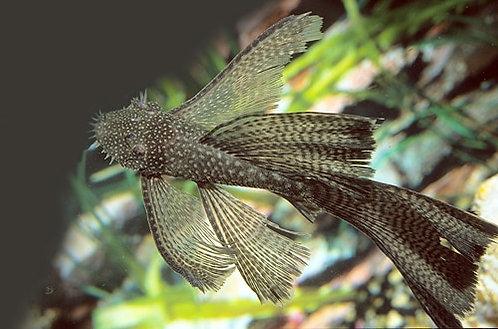 Ancistrus sp. Long Fin (3-3.5cm)
