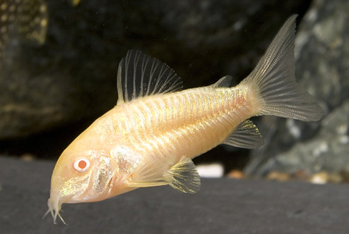Corydora Aeneus Albina