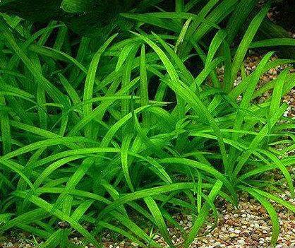 Echinodorus Tenellus`Green`