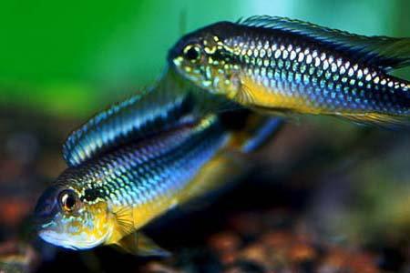 Apistogramma agassizii Blue ( fêmea )