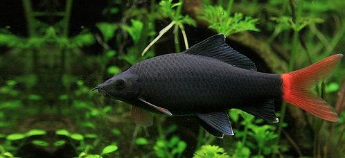 Epalzeorhynchus bicolor / Labeo bicolor
