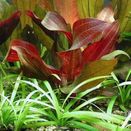 Echinodorus Harbic Red