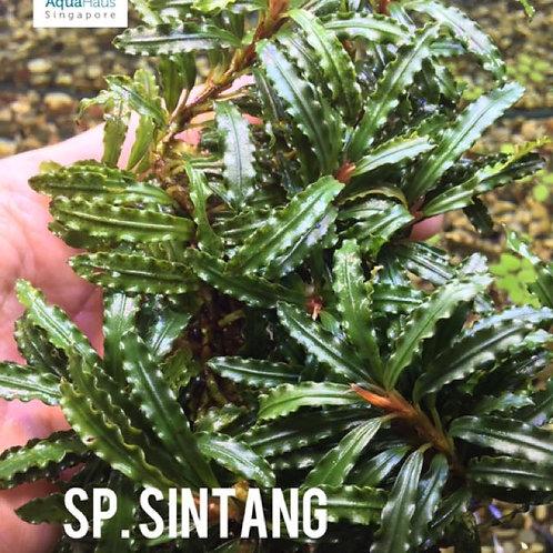 Bucephalandra sp. Sintang