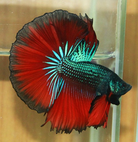 Betta Splendens Halfmoon Macho