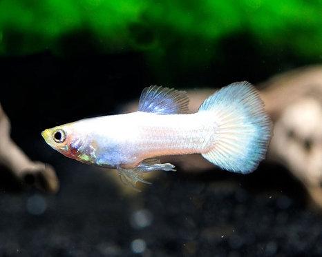 Guppy White Snow platinum ( fêmea )