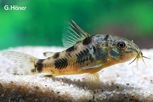 Corydoras paleatus Fin-Spotted