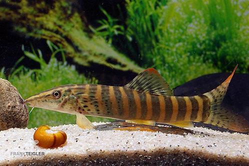 Botia Berdmorei 5-6cm