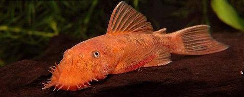 Ancistrus Super Red (4-5cm)