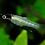 Thumbnail: Girardinus Metallicus