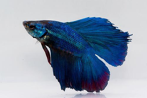 Betta Splendens Twintail Superdelta Macho