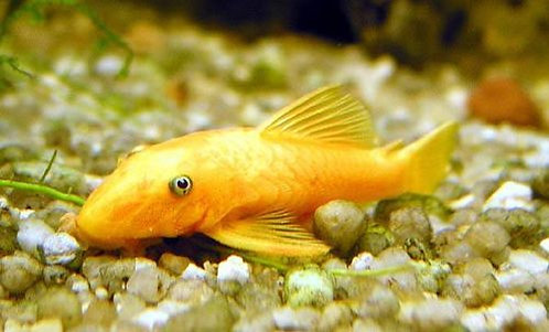 Ancistrus sp.Gold 3,5-4,5cm