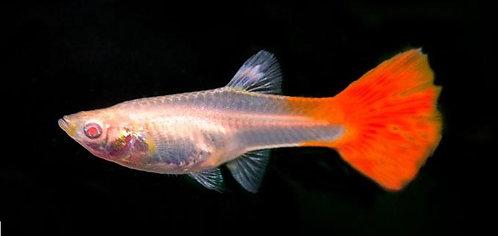Guppy Red Chilli (fêmea)