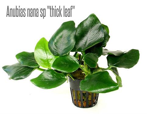 """Anubias nana """"Thick leaf"""""""
