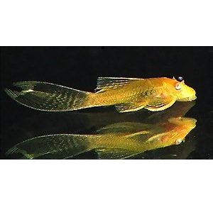 Ancistrus albino Long Fin