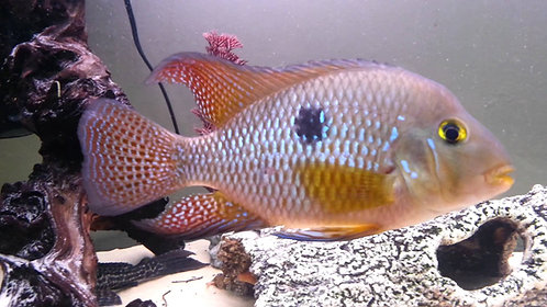 Geophagus Brasiliensis Red