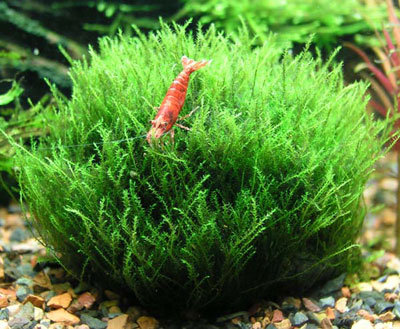 "Leptodictyum Riparium ""Stringy Moss"""
