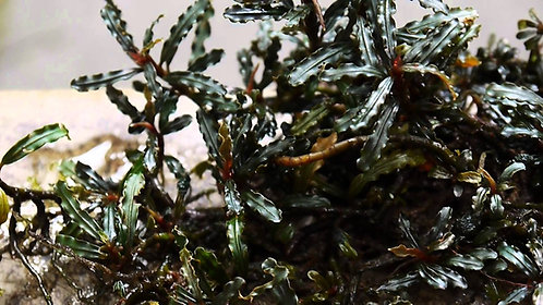 Bucephalandra mini catherine