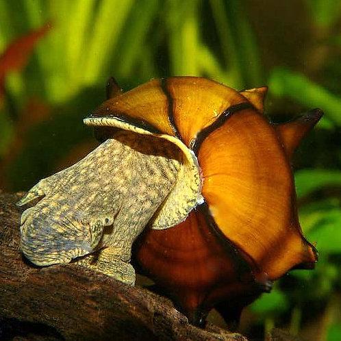 Pagoda Snail - Brotia Pagodula