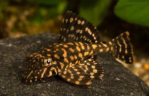 Glyptoperichthys Joselimaianus - L001/L022