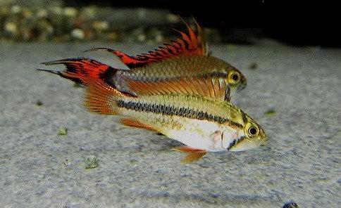"Apistogramma cacatuoides ""Triple-Red"" ( fêmea ) 3-4cm"
