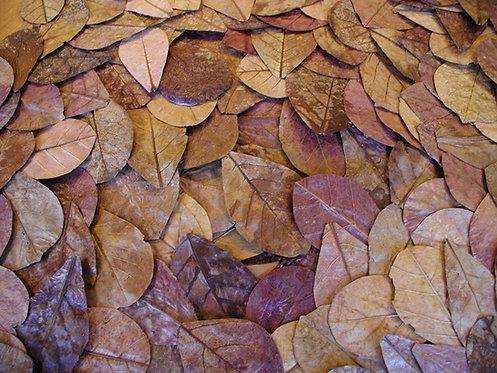 """Folhas de amendoeira """"Bonsaqua"""" 10und."""