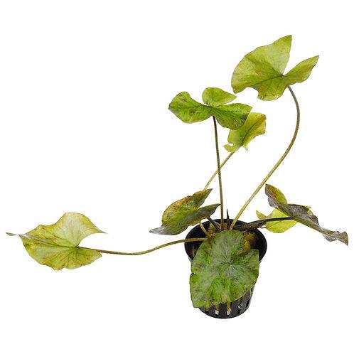 Nymphea lotus Green
