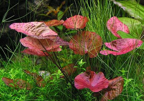 """Nymphea lotus """"Red"""""""
