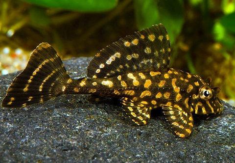 Pterygoplichtys Joselimaianus - Pleco Golden Spot