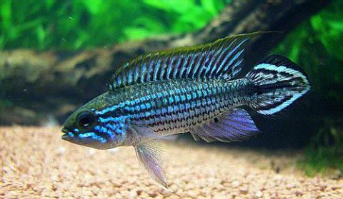 Apistogramma agassizii Blue ( macho )