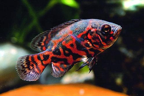 Astronotus Ocellatus - Oscar Tigre Vermelho 7-8cm
