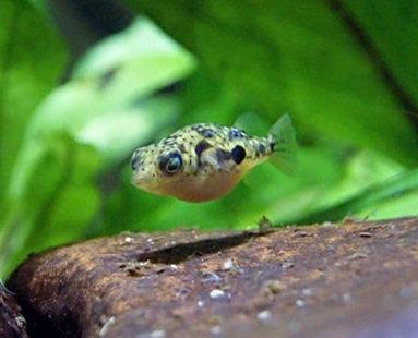 Monotrete Travancoricus - Peixe Balão Anão