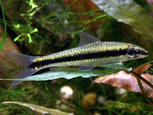 Crossocheilus siamensis - comedor de algas 3.5-4cm