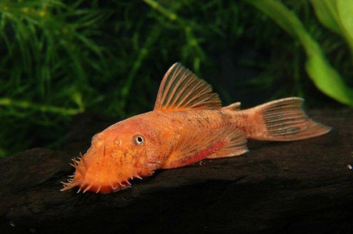 Ancistrus Red/Brown LDA 16 4,5-6cm