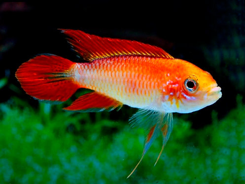 Apistogramma Agassizii Fire Red ( macho )