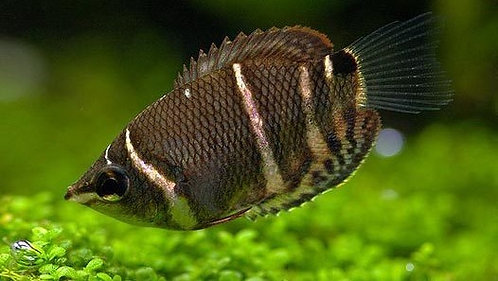 Gourami Chocolate