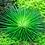 Thumbnail: Eriocaulon cinerum