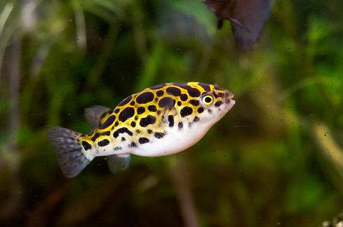Tetraodon Biocellatus - Peixe Balão