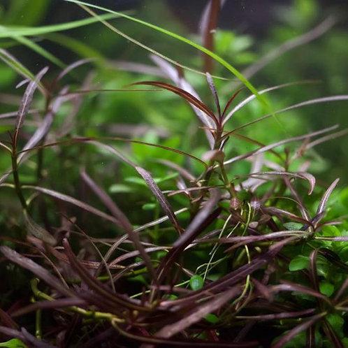 Hygrophila Lancea Araguaia