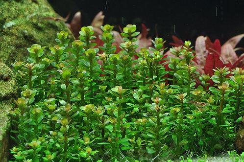 Ammania Bonsai