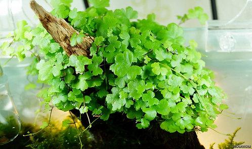 Hydrocotyle tripartita Japan