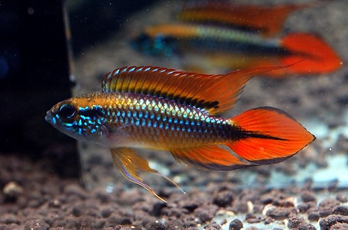 Apistogramma agassizii Double Red ( casal )