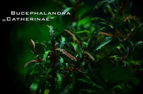 Bucephalandra sp.Catherine