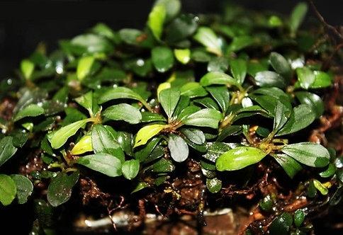 Bucephalandra Apple Leaf