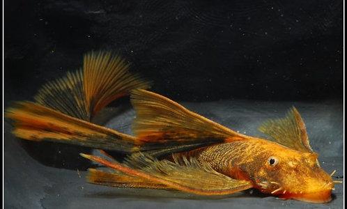 Ancistrus Red/Brown LDA 16 long fin 4,5-6cm