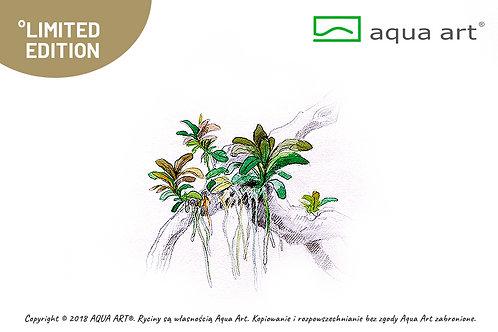 Bucephalandra Aqua Artica