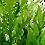 Thumbnail: Hygrophila Difformis